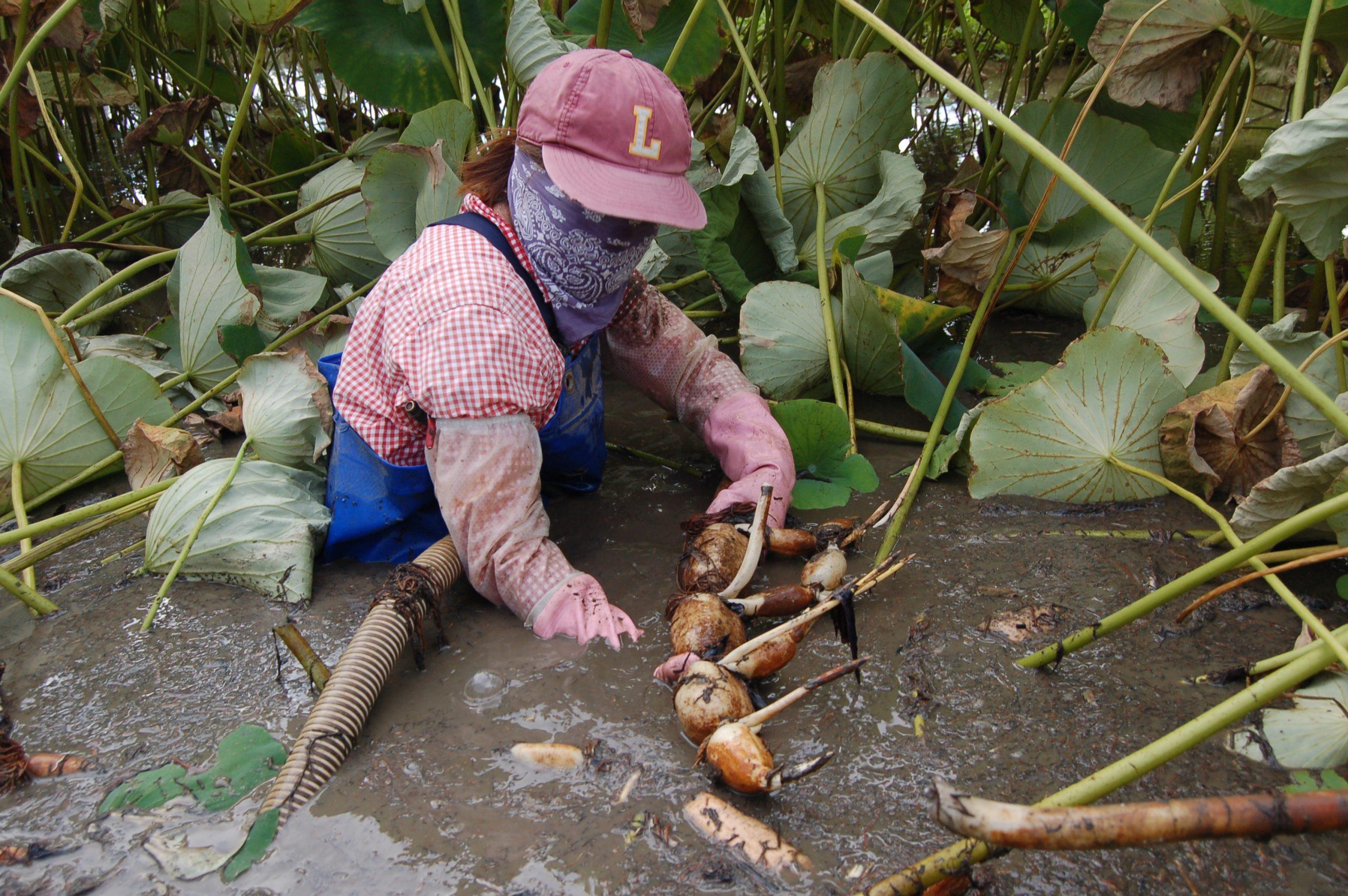 壮絶な収穫作業、泥田に咲く花に癒される